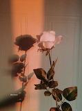 Rosa rosa a gambo lungo