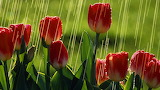 red tulips under the rain