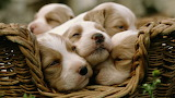 Animals dogs puppies sleeping baskets