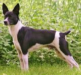 #Beautiful Rat Terrier