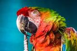 Macawcawcaw