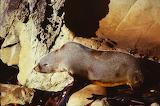 New Zealand - Seals - On the rocks10
