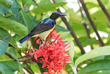 Burung-Kelicap-Mayang-Kelapa-Brown-throated-Sunbird