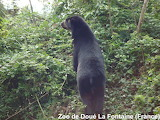 Spectacled bear looking 4 blackberries / Ours à lunettes