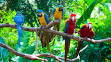 Red and Blue Macaw Parrots