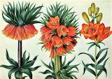 crown imperial lilies
