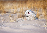 Hahahaha... stop, that tickles - Snowy Owl by Vicki Jauron