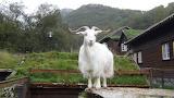Norwary goat
