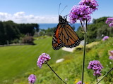 Mackinac Island Monarch by Rebecca Haigler