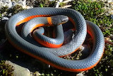 Pacific Ring-Neck Snake