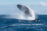 Baleine à bosse et son baleineau 2