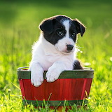 Border Collie Puppy...