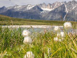 Cotton grass for Sunday...