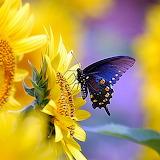 Sunflower Butterfly...