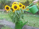 Sonnenblumen, eine Urlaubserinnerung