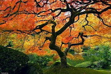 Maple_tree_japanese_garden_portland
