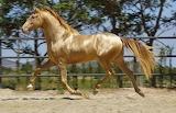 Cavall Daurat - Golden Horse