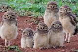 Birds - Burrowing Owl family
