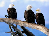 Animals-eagles-bird-nature