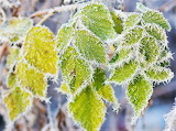 #Winter Frost on Green Leaves