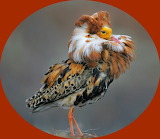 Male Ruff in breeding plumage, Norway