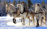 Winter-achtergrond-met-witte-paarden-in-de-sneeuw-die-slee-trekk