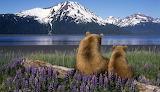 Bears - Turnagain Arm - Alaska