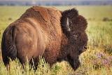 Magnifique bison