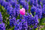 ^ Pink tulip surrounded by purple hyacinths