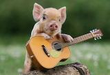 Pig guitar guitarist