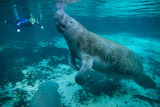 Manatee swimming marine animal