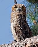 Birds - Great Horned Owl 2