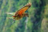 Kea, Mountain Parrot, NZ by Amalia Bastos