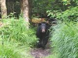 0286 Smoky Mt Bear