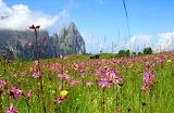 Blumenwiese-mit-schlern-dolomiten