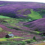 Scottish Borders - Heather