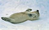 Harp seal pup at the Gulf of St. Lawrence. Canada