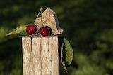 ^ Cherries Still Life