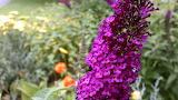 Wildflower Butterfly Weed