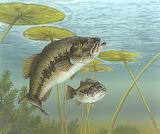 Micropterus salmoides 2