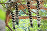 Lemur ring tails