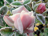 F.fwallpapers - frost-flower-24