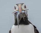 Birds - Puffin with dinner
