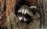 Raccoon-den