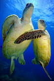 Tortugues - Turtles