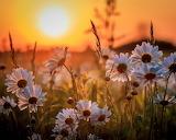 Marguerites au coucher de soleil