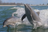 Animals - Bottlenose dolphins