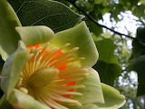 Tulip Poplar Tree Bloom 02