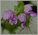 """Lamium """"Orchid Frost"""""""