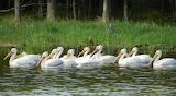 Pick a Pelican
